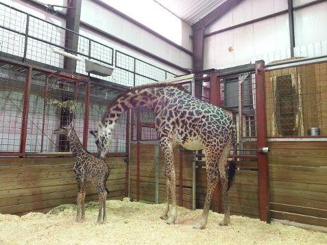 It's a girl! 160 pound giraffe born in Boston | Local News - WCVB Home