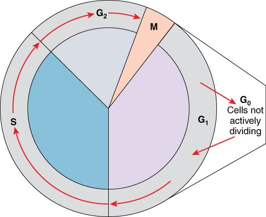 The two major phases of the cell cycle include mitosis (cell division), and interphase, when the cell grows and performs all of its normal functions. Interphase is further subdivided into G1, S, and G2 phases.