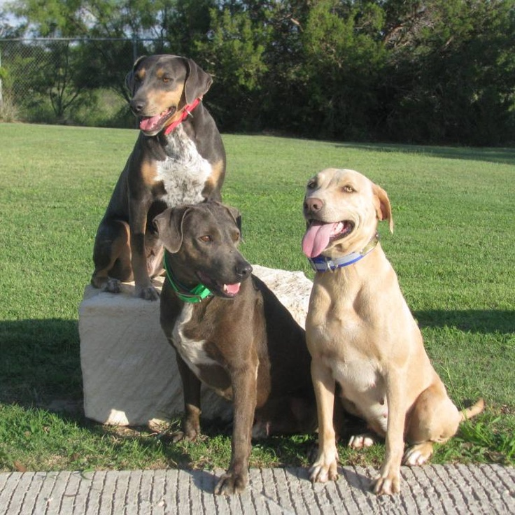 Blue Lacy Dog Temperament - The Best Dog 2018