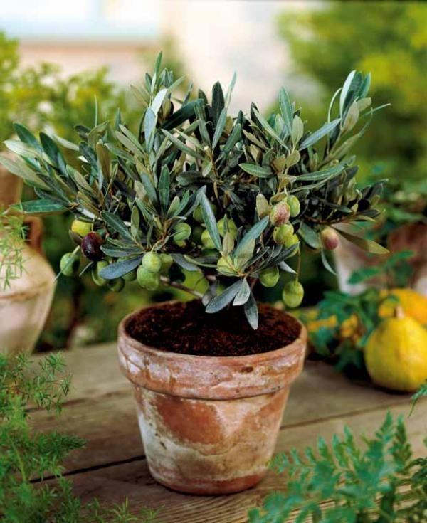 #Olivier 'Picholine'- Dwarf olive tree