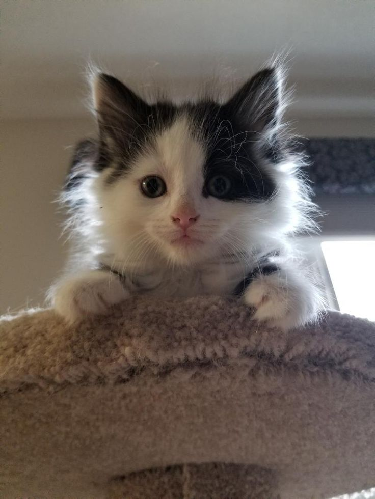 Kittens!!! is an adoptable Domestic Short Hair searching for a forever family near Alliston, ON. Use Petfinder to find adoptable pets in your area.