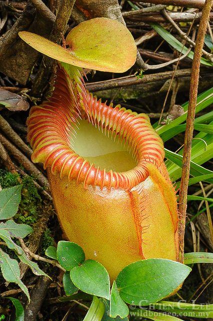Nepenthes villosa.