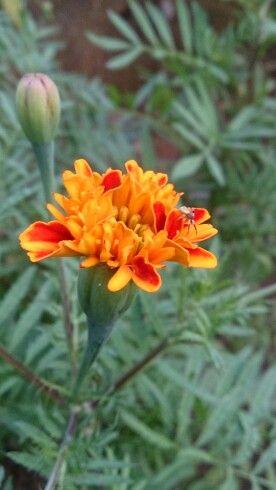 Spider & Marigold