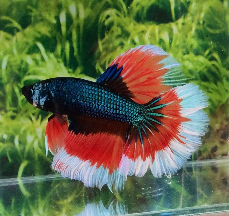 176 best images about tropical fish fresh water on for Beta fish water
