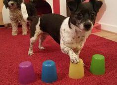 Becher- Gedächtnistraining für Hunde