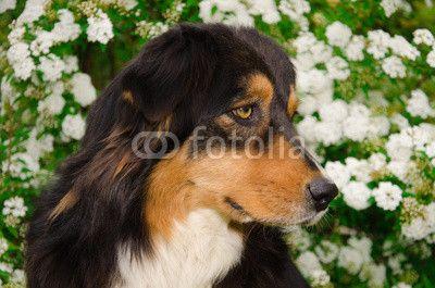 Portrait of Australian shepherd dog on the white flowers. #Pets #Animals #Dog #AustralianShepherd #Doggy #Aussie #Flowers #Spring #Garden