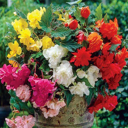 Seminte - Flori : BEGONIA x tuberhybrida - soi Basket Beauties - Begonia curgatoare
