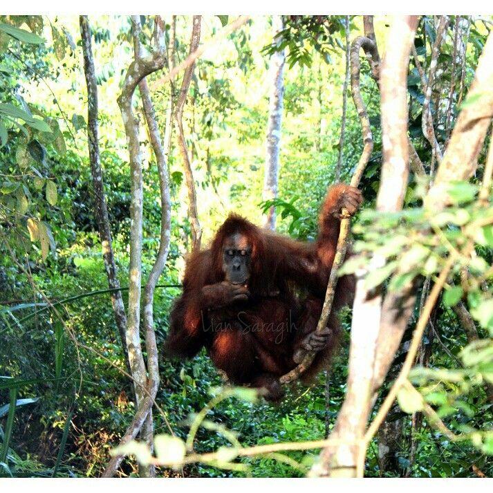 Orang utan,bukitlawang-North sumatra