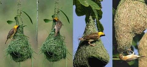 Bird&Nest | Paulvadivu Ponnusamy | Flickr
