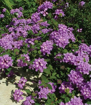Purple Lantana. Smells awful, but it attracts butterflies. (also poisonous.)
