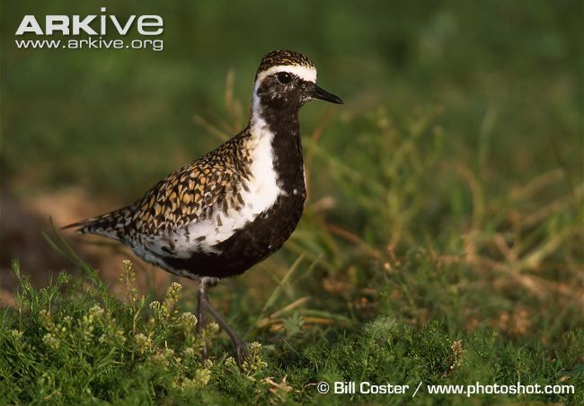 Pacific golden plover in breeding plumage on grass
