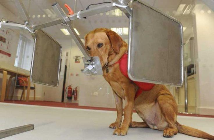 """İngiltere'de """"Daisy"""" isimli 12 yaşındaki bir köpeğin kanseri saniyeler içinde koklayarak tespit edebildiği belirtildi. Daha 12 haftalıkken kanser örneklerini koklamaya başlayan Daisy, on yıl sonra çığır açan çalışmalara örnek oldu. Detaylar ajanimo.com'da.. #ajanimo #ajanbrian"""