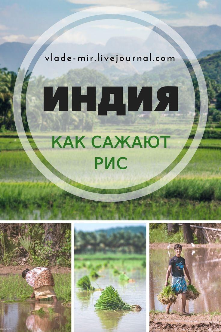 Фото с индийских рисовых полей. Как в Индии сажают рис. #индия #азия #рис #vladimirzhoga #india #travel #путешествия