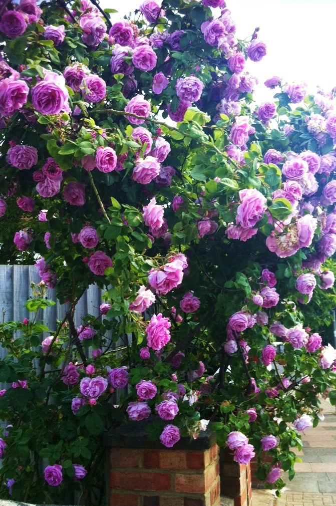 Rambling Roses climbing up the chimney at the back door.  I will be getting one of these.