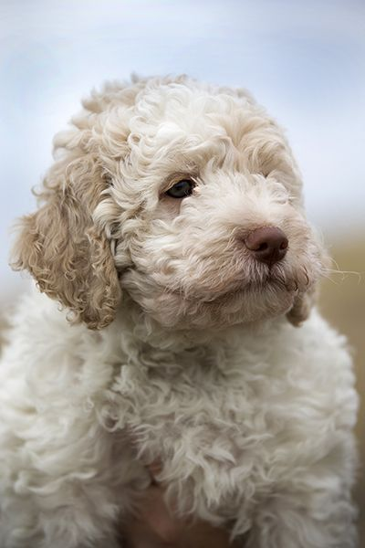 Lagotto Romagnolo #hond #dog