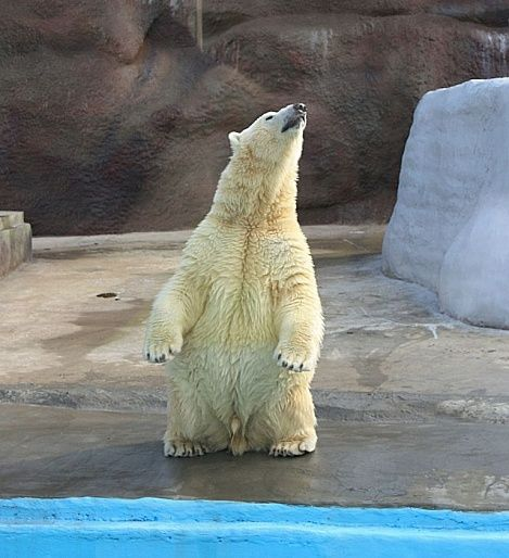 Зоопарк Удмуртии объявляет конкурс на имя для нового обитателя - белого медвежонка