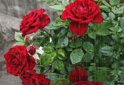 Tükröződik Roses hozzászólások, grafikák és Greetings kódok Orkut, a Friendster, MySpace, Tagged