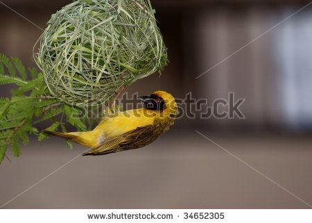 Male Weaver constructing its nest,
