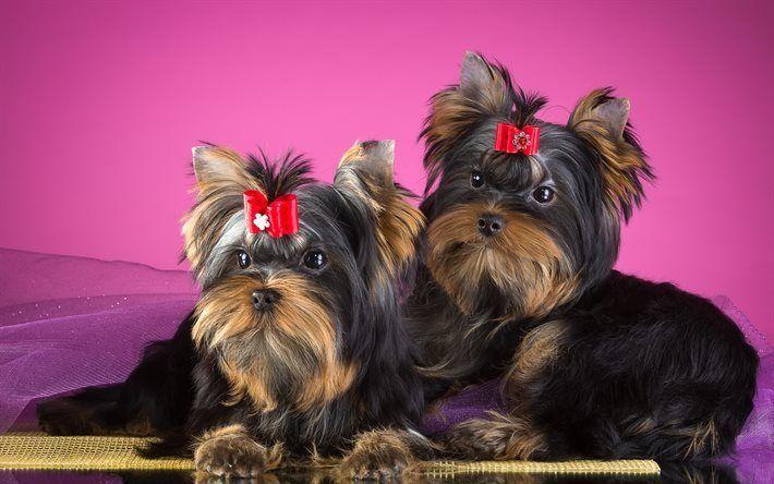 Scarica sfondi cane, yorkshire terrier, animali domestici, cuccioli
