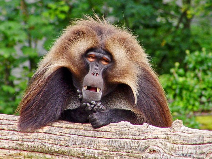 There are 5 different species of baboons that live in Arabia or Africa. They are one of the largest monkeys in the world with average weight of 15-37 kg and 60-102 cm long, excluding the tails and the lengths that may vary. Animals that start with b, animals with b, animals beginning with b, amazing animals start with b, Amazing animals, beautiful animals with b, baboon, amazing baboon, awesome baboon, beautiful baboon,awesome animals in the world #Animalsthatstartwithb  #animalswithb…