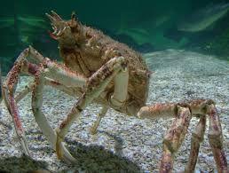 """Résultat de recherche d'images pour """"images de crabes de l'atlantique"""""""