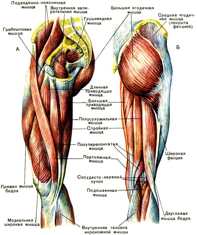 Мышцы бедра: А - передняя и медиальная группы; Б - задняя группа [1979 Курепина М М Воккен Г Г - Анатомия человека Атлас]