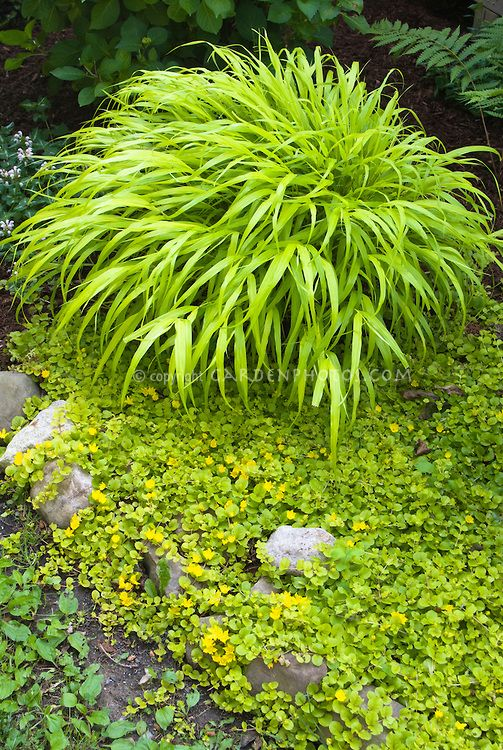 799 best images about ornamental grasses hostas on for Ornamental grasses for shade