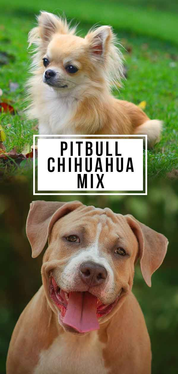 Pitbull Chihuahua Mix An Unexpectedly Affectionate And