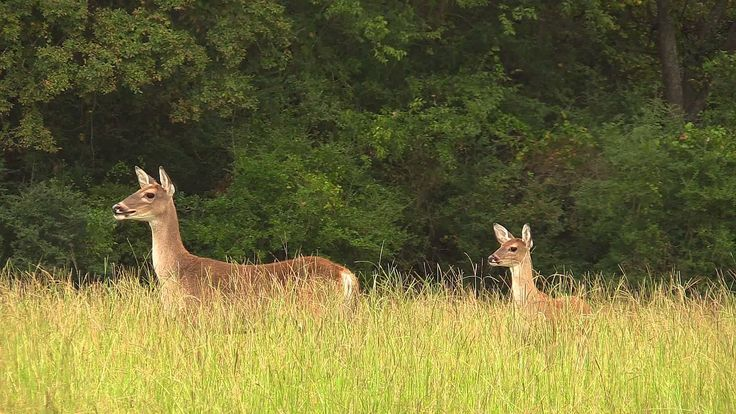 Deer coming to foxpro rabbit in distress call.