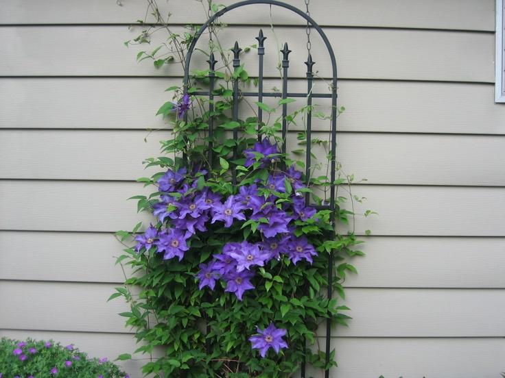 87 best clematis collection images on pinterest for Fast growing climbing plants for screening
