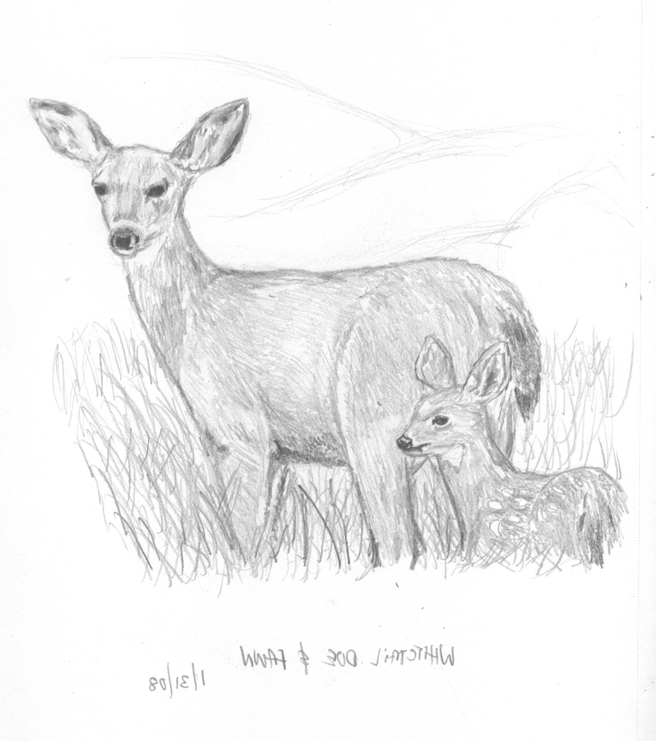 1000 images about deer pics on pinterest donald o for Deer coloring pages