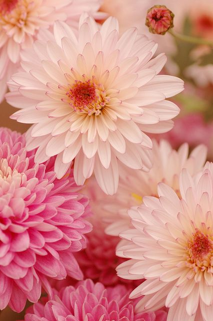 Shades of Pink Dahlias