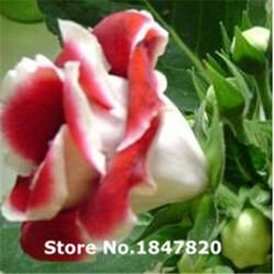 AAA 2016 Rare Saintpaulia Seeds, 10 kinds 100 Mix Colors Flower Seeds, High survival Rate for Home and Garden.
