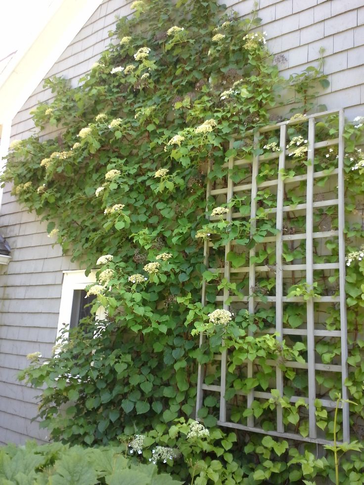11 best images about vines on pinterest virginia for Climbing flowering plants for fences