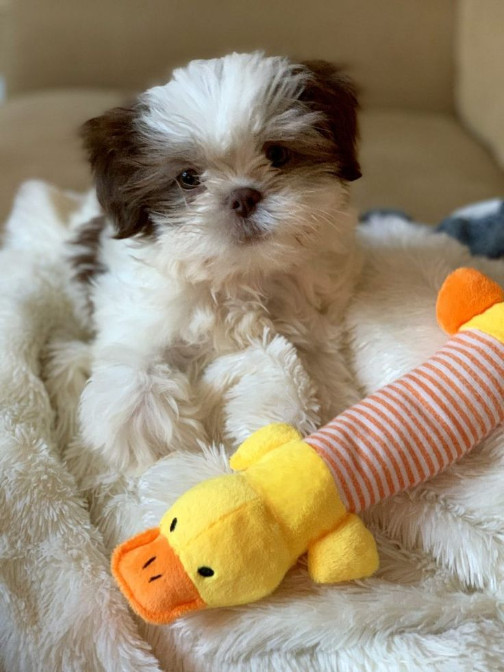 All the buzz 2 bees in a pod shih tzu puppies shih