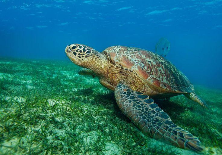 På Pandan Island i Filippinerne kan du være heldig at se havskildpadder tidligt om morgenen på helt lav vand. Så på med snorkelmasken!