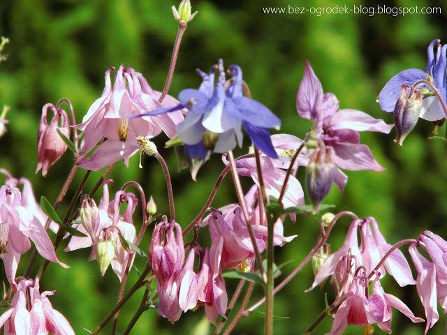 Rose Quartz & Serenity - My flower inspirations. Aquilegias