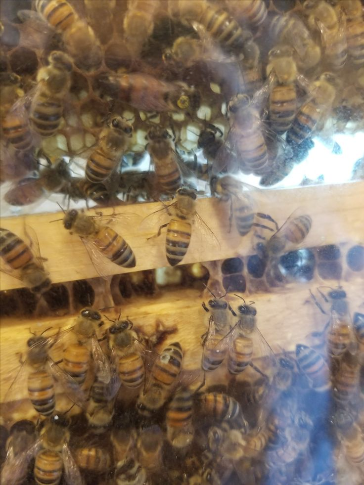 Check out the video to see a real Queen Bee in her hive.raising bees   raising bees beekeeping   raising bees for honey   raising bees beehive   raising bees honey   Raising Bees   Raising Bees   Raising bees honey comb   honey comb tattoo   honey comb shelves   honey comb candy   honey comb art   Honey Comb Crafts Boutique   HONEY COMBS   Honey Comb   honey comb beads   Honey Comb Gardens   honey comb smcoking  