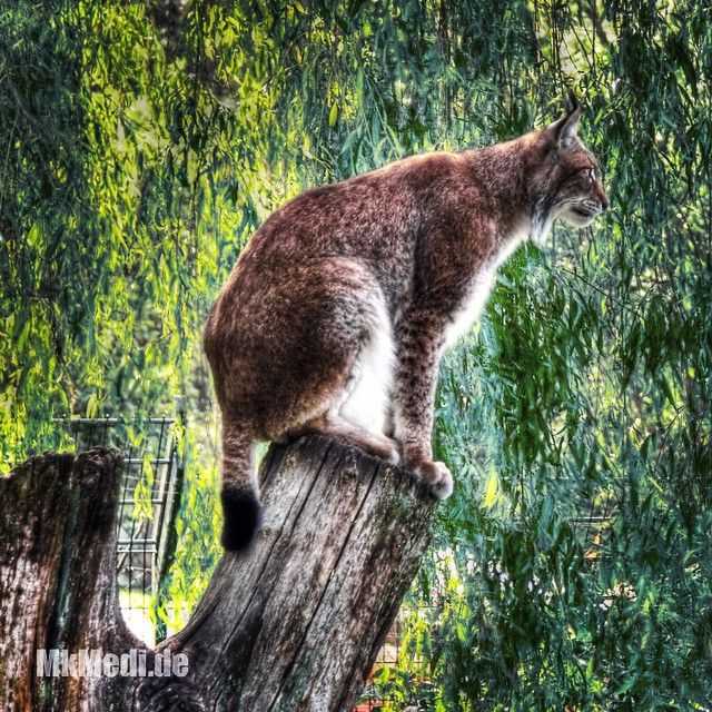 Markus Medinger Picture of the Day | Bild des Tages 15.03.2015 | www.mkmedi.de #eurasian #lynx #eurasischer #luchs #wildpark #allensbach #badenwuerttemberg #bw #germany #deutschland #hdr #mkmedi #365picture #365DailyPicture #74 #seventyfour #vierundsiebzig #pictureoftheday @padgram @phonegram @wildundfreizeitpark_allensbach