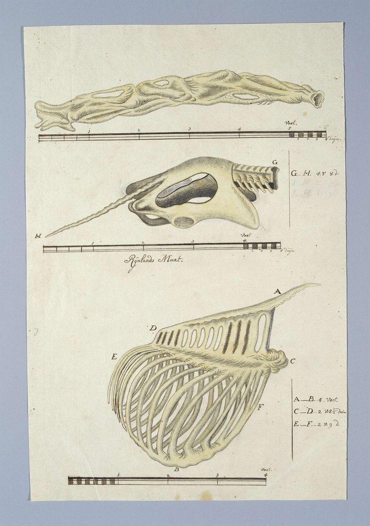 1000+ idee u00ebn over Ribbenkast op Pinterest   Anatomie tekening, Anatomie en Menselijk skelet