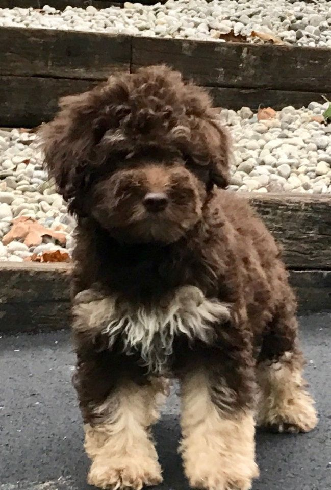 Pin By Abby Carroll On Puppies Sheepadoodle Whoodle Puppy Schnoodle Puppy
