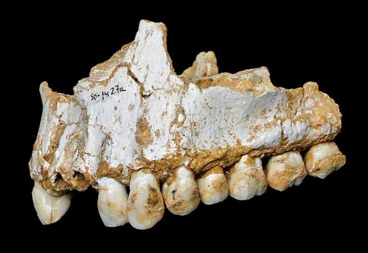 ADN/SARRO: Los neandertales de España solo restos de enfermedades, plantas medicinales y antibióticos (corteza de álamo, un árbol cuya corteza, raíces y hojas contienen el ingrediente activo de la aspirina)