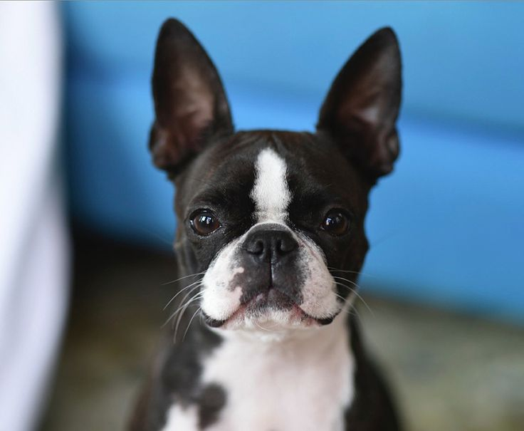 A Perfect Model for Photography is a Boston Terrier named Gumiho! ► http://www.bterrier.com/?p=23958 - https://www.facebook.com/bterrierdogs