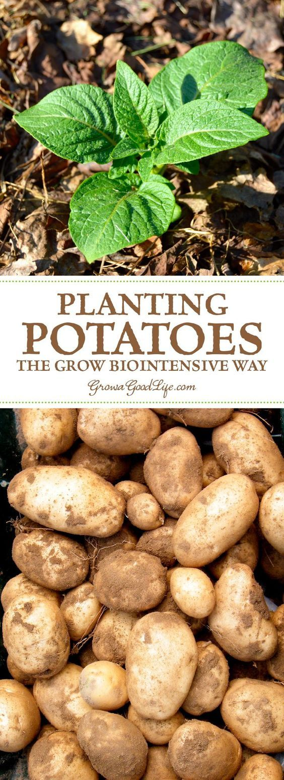 Weeds in flower beds with potato like roots - Weeds In Flower Beds With Potato Like Roots 47