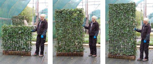 Insynsskydd direkt, färdig växtskärm av murgröna, finns olika höjder (1 m, 1,8 m, 2,2 m och 3 m). Ej bygglov...
