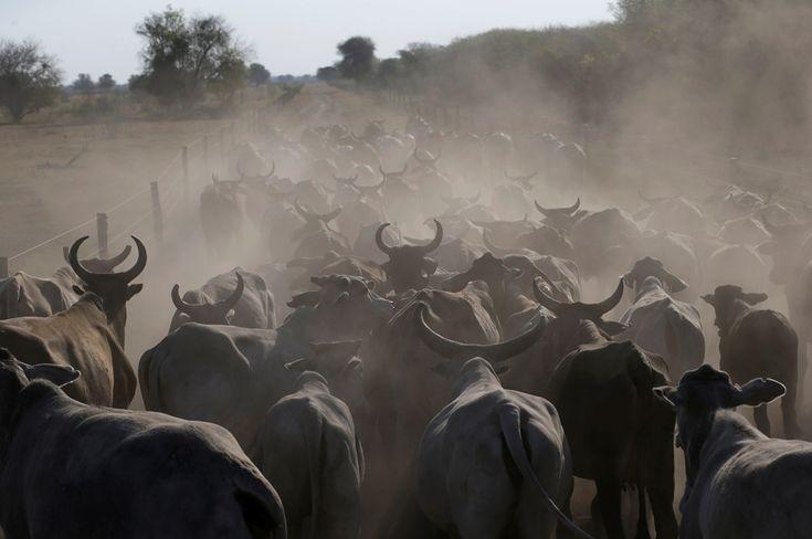 O gado é conduzido para o solo com água no rancho Agropil, em Boqueron, Paraguai, 14 de agosto de 2016. REUTERS / Jorge Adorno