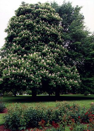 Learn all about horse chestnut, including its health benefits!