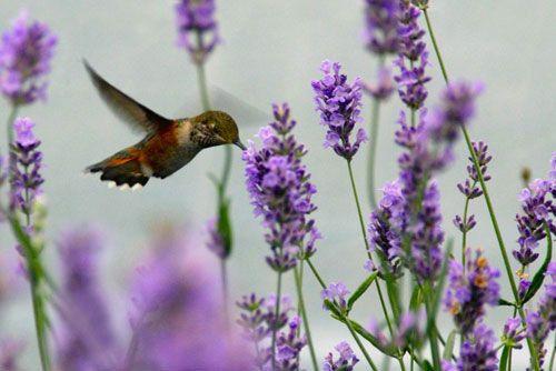 Lavender, Lavendula...lovely on many levels.