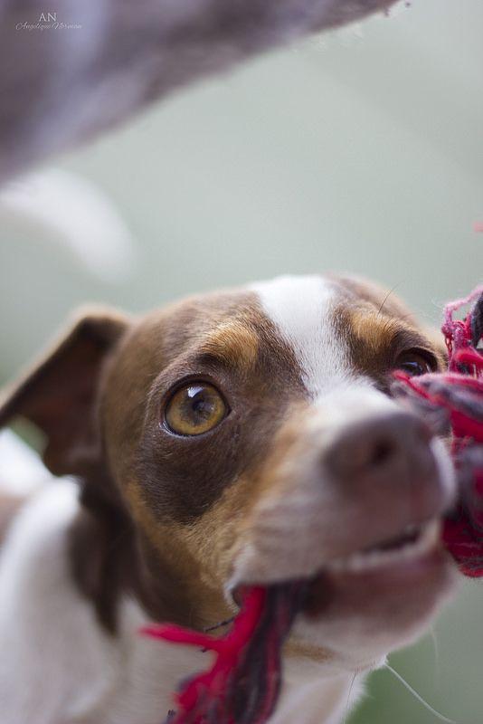 Tug o' War Puppy. My dog having some fun.