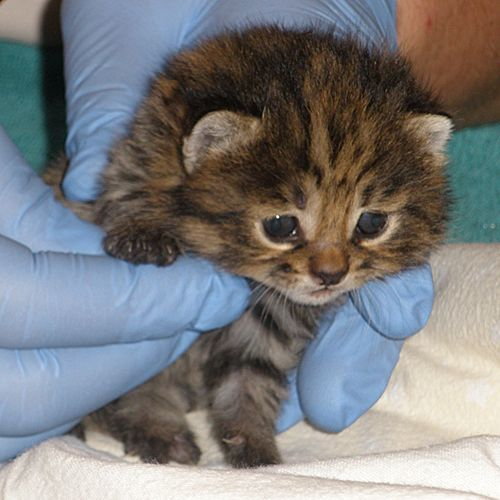 taking first leap: New Orleans, Endangered Species, Black Foot Kittens, Black Foot Cats, Frozen Embryo, Newborn Kittens, Blackfoot Cats, African Black Foot, Animal